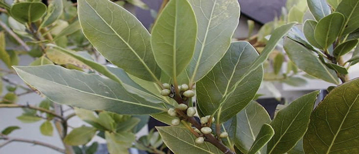 how to look after a bay leaf plant
