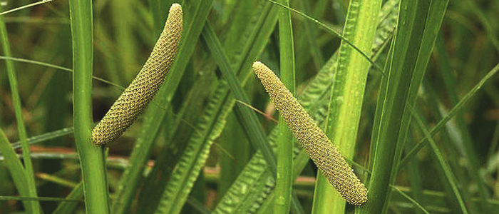 Image result for calamus pic