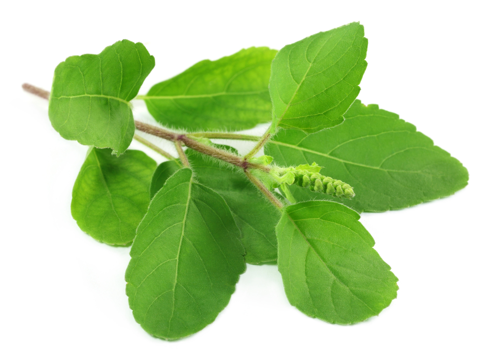 Image result for Tulsi