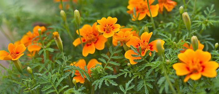 Tagetes oil | Tagetes Minuta Essential Oil