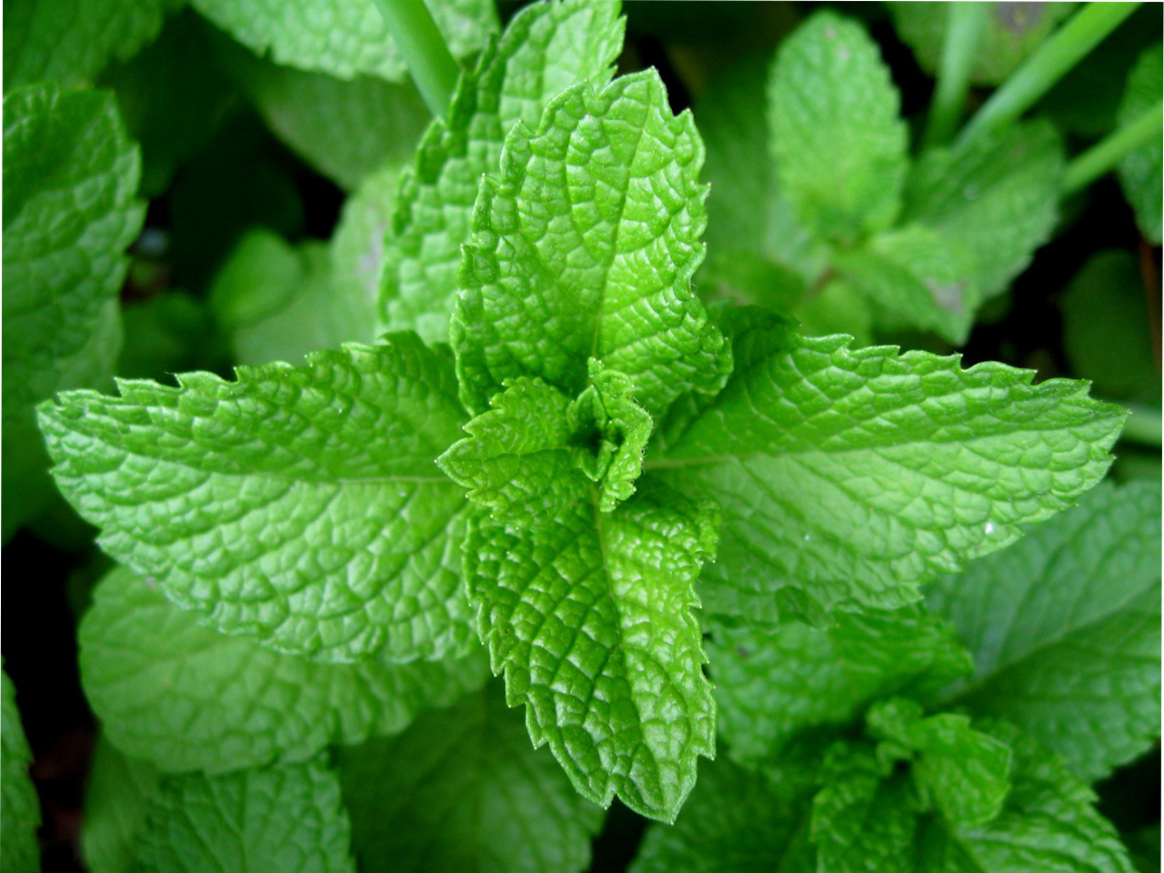 Pippermint leaves